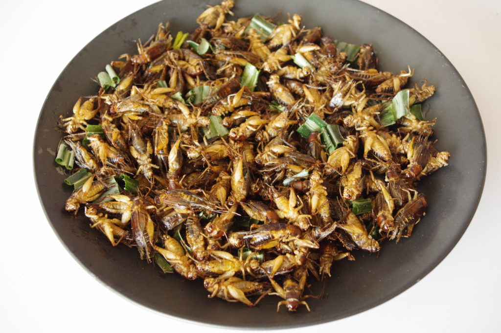 お皿に守られたコオロギ(タイワンオオコオロギ)