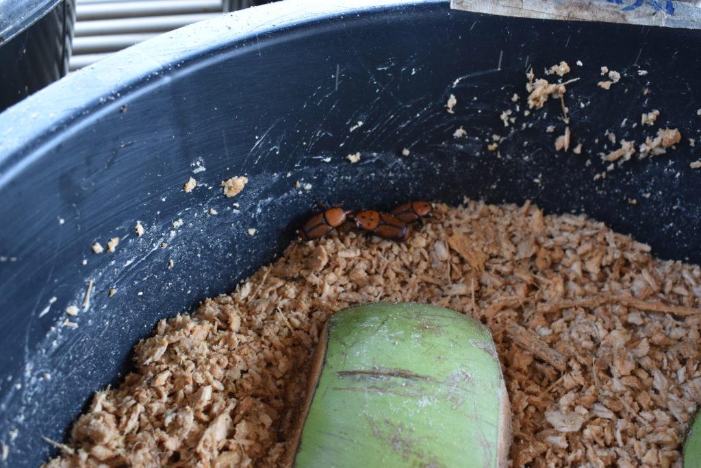ヤシオオオサゾウムシの幼虫